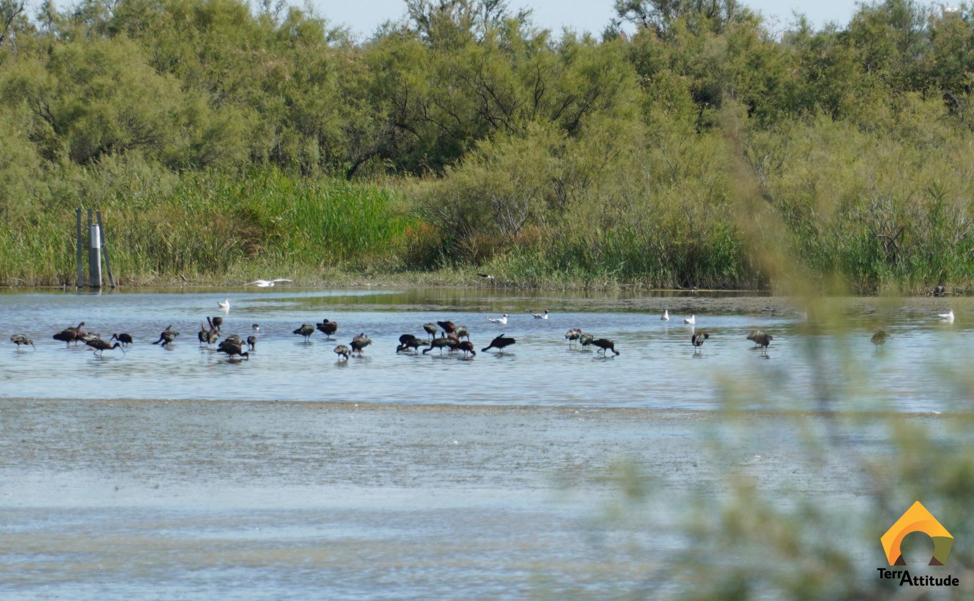 Oiseaux, Ibis falcinelle en petite Camargue (Gard 30)