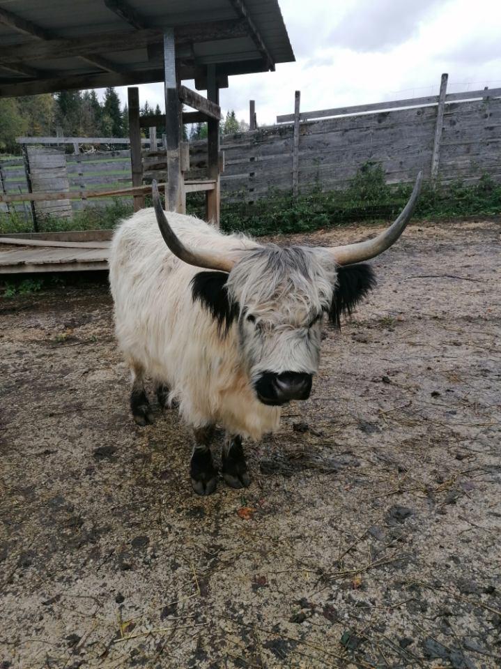 Vache de race Highland (Suisse)